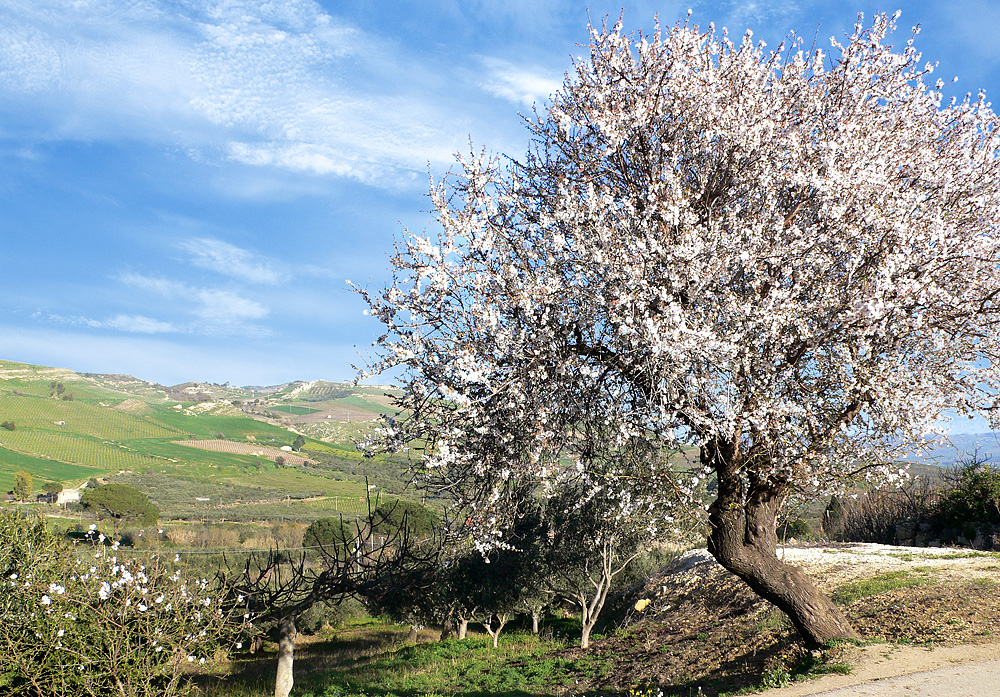An almond tree in bloom near the town of Salemi (end of January 2008)